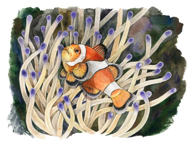 Watercolor illustration of a clown fish with actinium in the tropical sea. Salt water exotic amphiprion fish with sea anemone. royalty free illustration