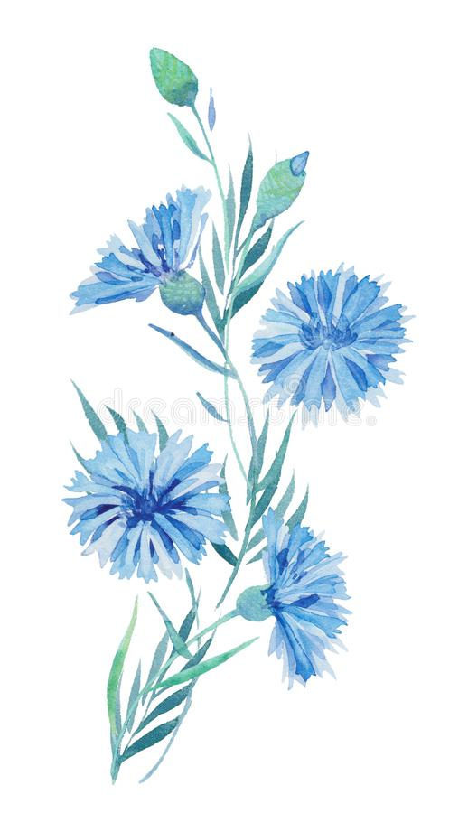 Watercolor illustration, a painted bouquet of a blue flower, a twig of cornflowers, wildflowers with leaves. For printing postcard royalty free illustration