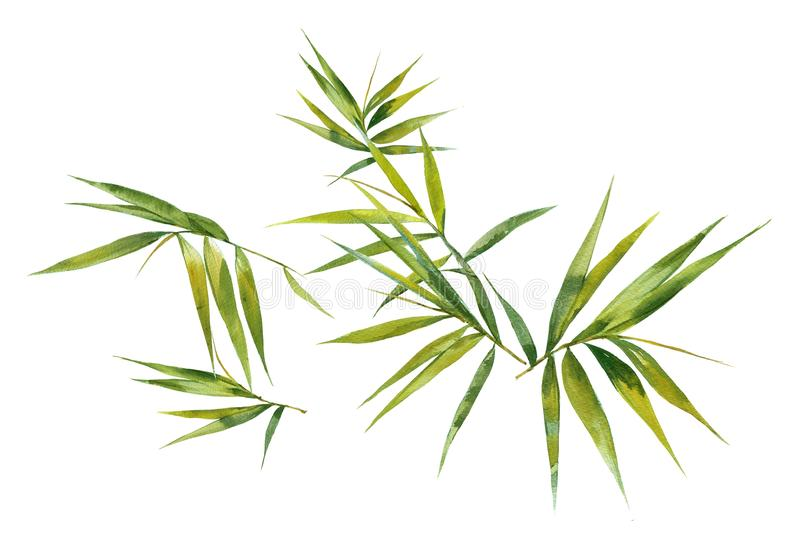 Watercolor illustration painting of bamboo leaves , on white vector illustration