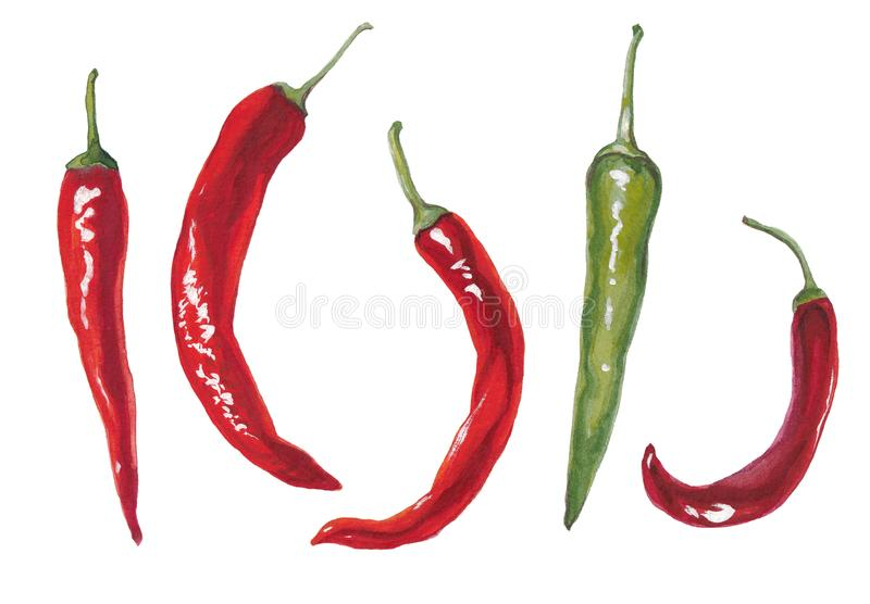 Watercolor  illustration of peppers. vector illustration