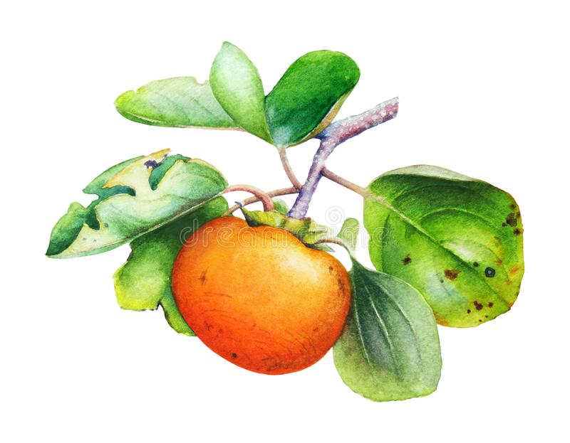 Watercolor illustration of the persimmon tree branch with fruits stock illustration