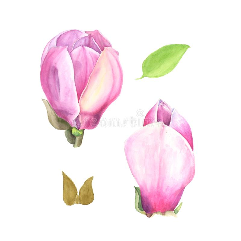 Watercolor illustration of pink magnolia. Set on white royalty free illustration