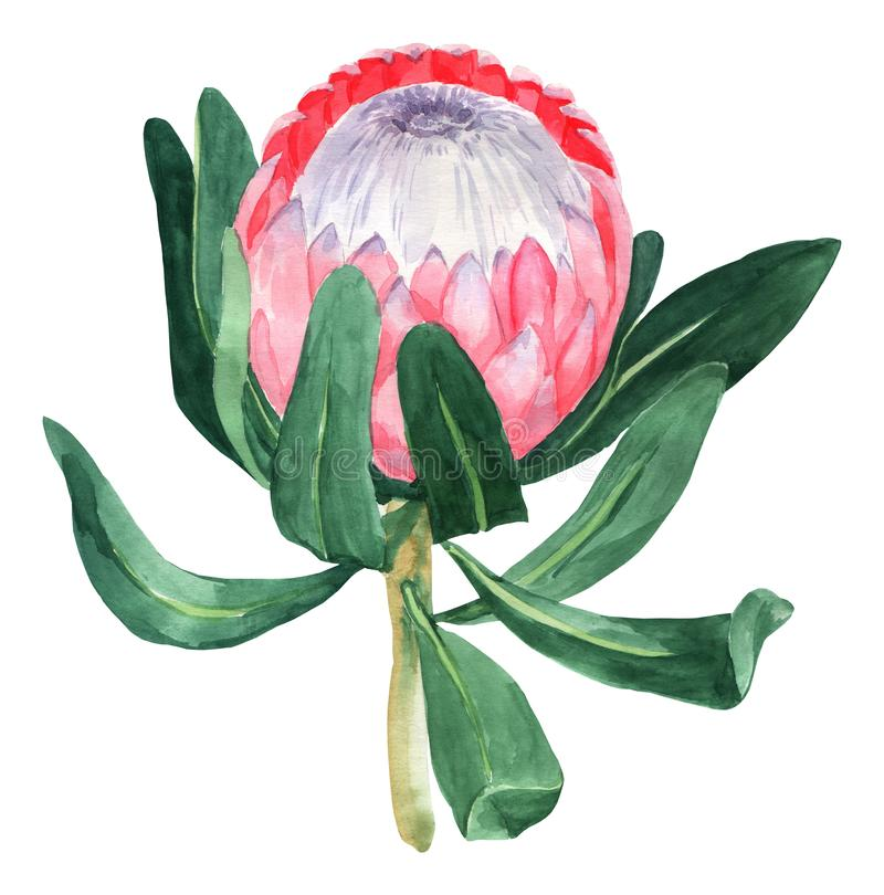 Watercolor illustration protea flower isolated on white background. Plants illustration. Tropical backround royalty free stock photos