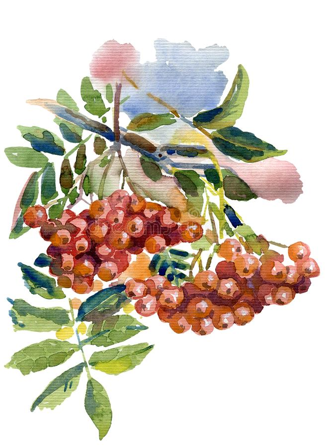 Watercolor illustration of ripe berries of mountain ash stock photography
