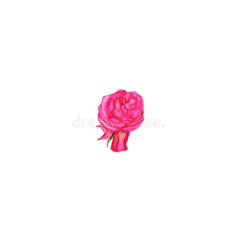 Watercolor illustration of rose bud on white. Background royalty free stock images