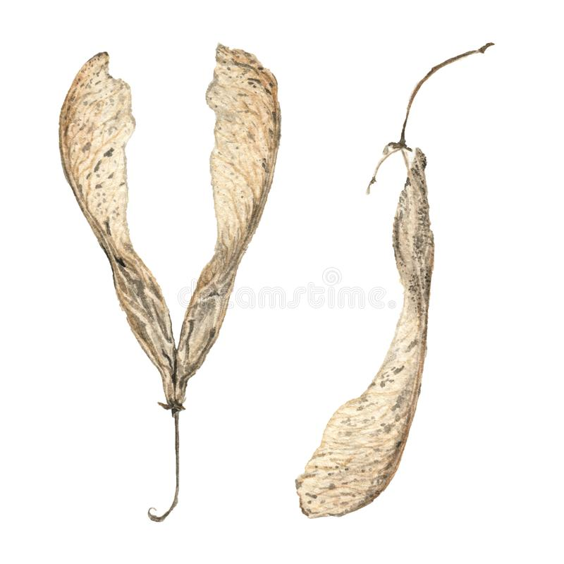 Watercolor illustration of seeds royalty free stock photography