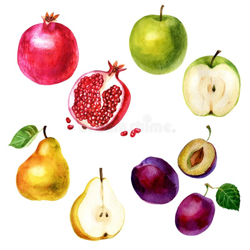 Watercolor illustration, set. Image of fruits, pomegranate, plum, apple and pear vector illustration