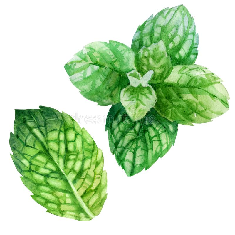 Watercolor illustration, set. An image of mint. Mint leaves royalty free illustration
