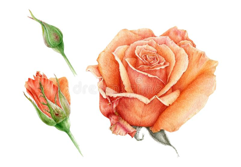 Watercolor illustration set of a orange beautiful rose with buds. Peach hand drawn botanical flower in the full bloom. royalty free stock photo