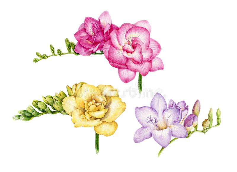 Watercolor illustration set of pink, yellow and violet freesia. Hand painted botanical flowers with green buds in the full bloom. Isolated on white background royalty free stock photography