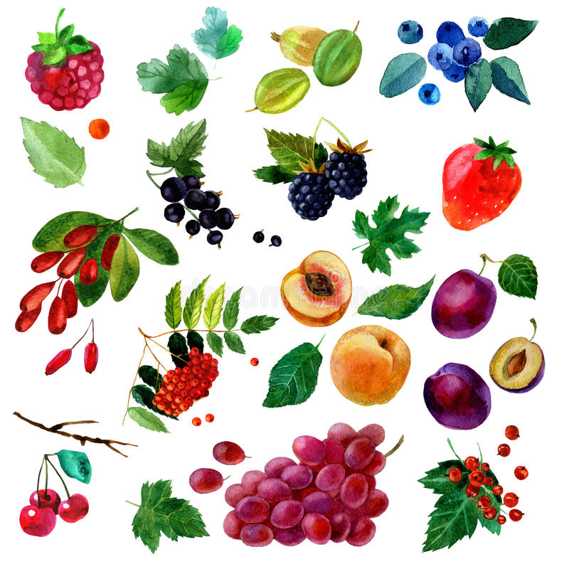 Watercolor illustration, set of watercolor fruit and berries, parts and leaves vector illustration
