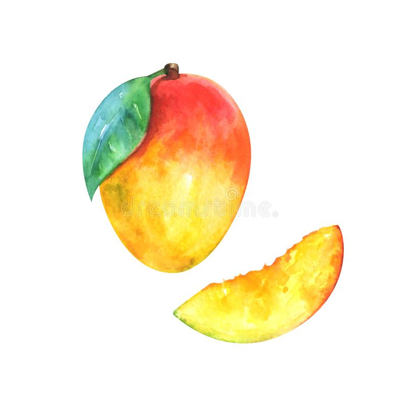Watercolor illustration of slice and whole mango vector illustration