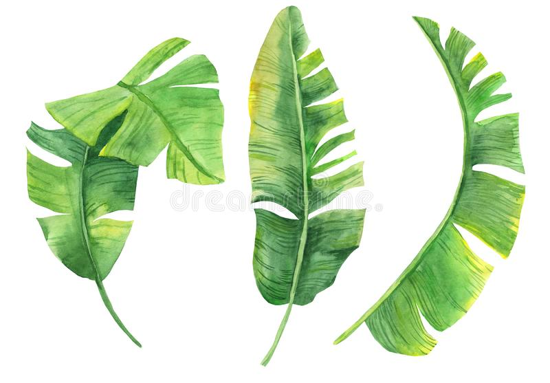 Watercolor illustration of tropical leaves. Exotic plant. Natural print. Set of banana leaves isolated on white background for you royalty free illustration