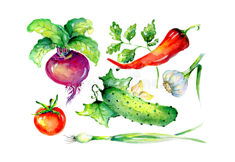 Watercolor illustration of vegetables royalty free stock images