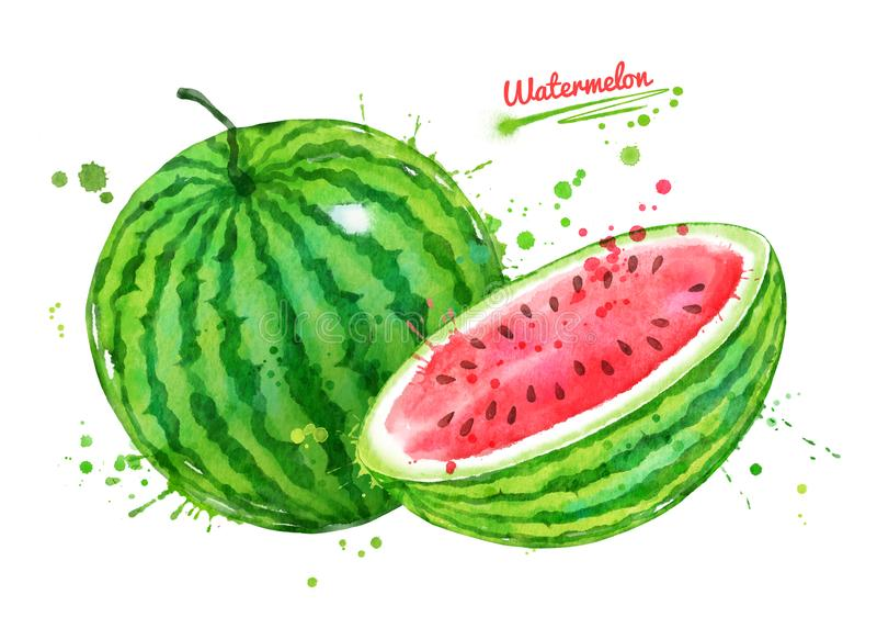Watercolor illustration of watermelon vector illustration