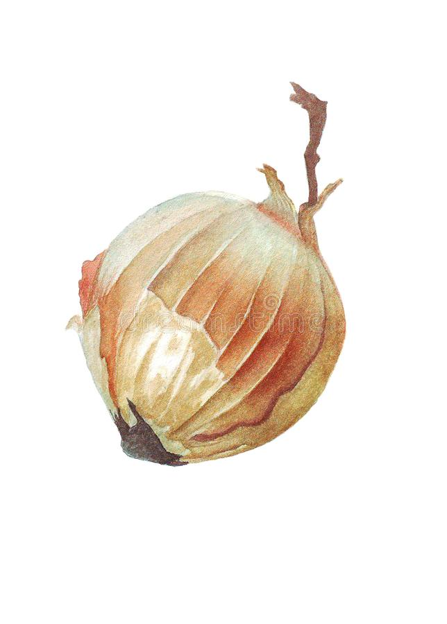 Watercolor illustration with yellow onion stock images