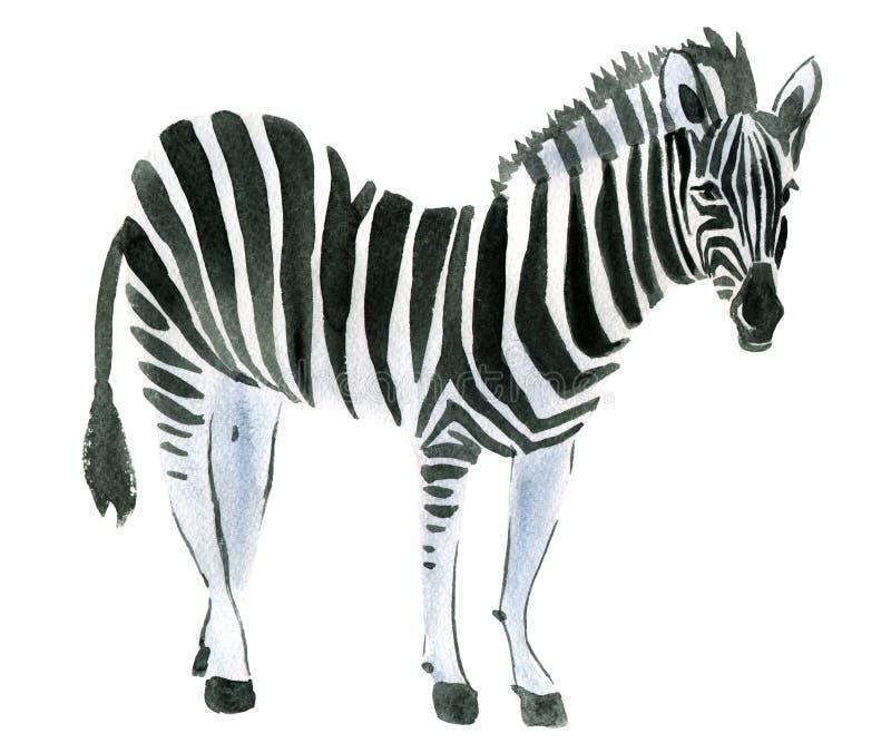 Watercolor illustration of a zebra vector illustration