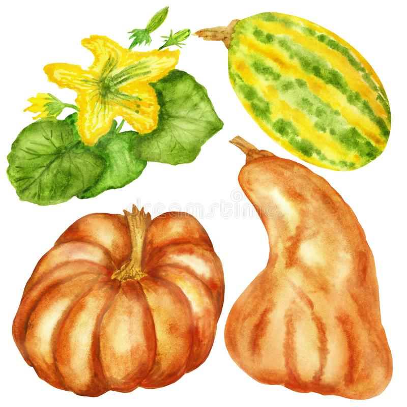 Watercolor illustrations, a set of pumpkins and flowering branches with pumpkin fruits isolated on a white background. stock illustration