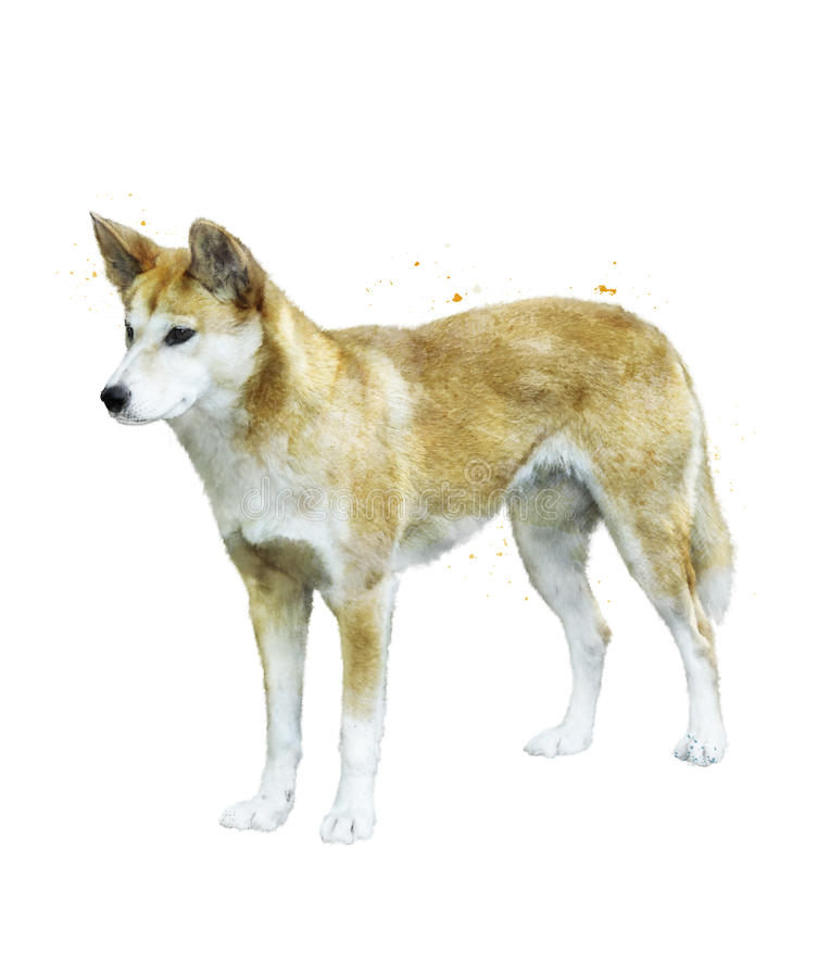 Watercolor Image Of Australian Dingo royalty free illustration