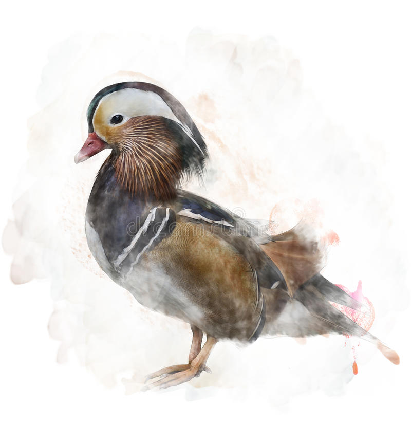 Watercolor Image Of A Mandarin Duck. Watercolor Digital Painting Of A Mandarin Duck vector illustration