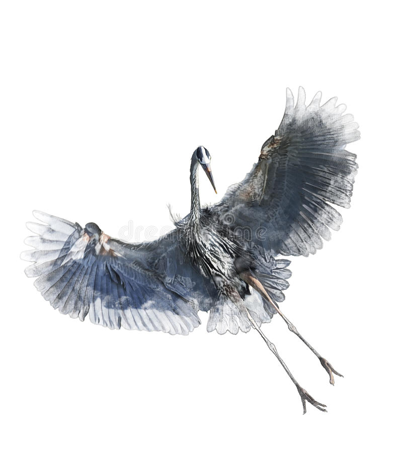 Free Watercolor Image Of Great Blue Heron Stock Photo - 42559930