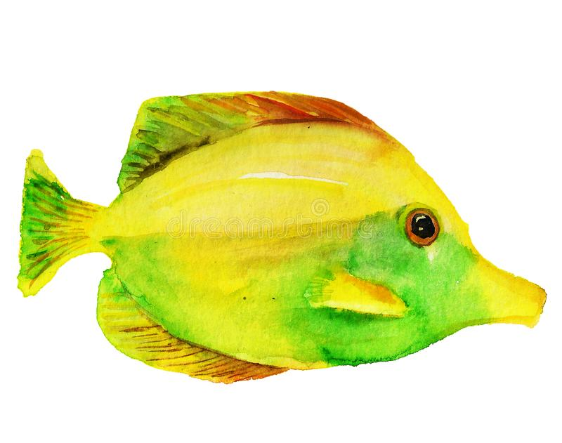 Yellow tang fish. Watercolor image of yellow tang fish on white background royalty free illustration