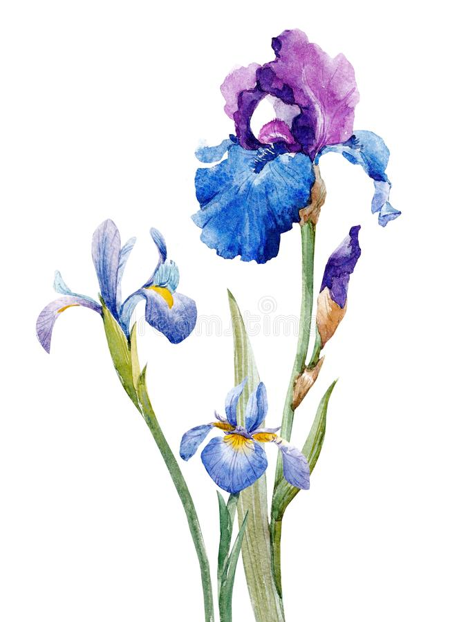 Watercolor iris composition stock illustration