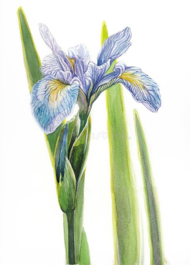 Watercolor Iris flower. Blue- violet Iris flower painted in watercolor royalty free illustration
