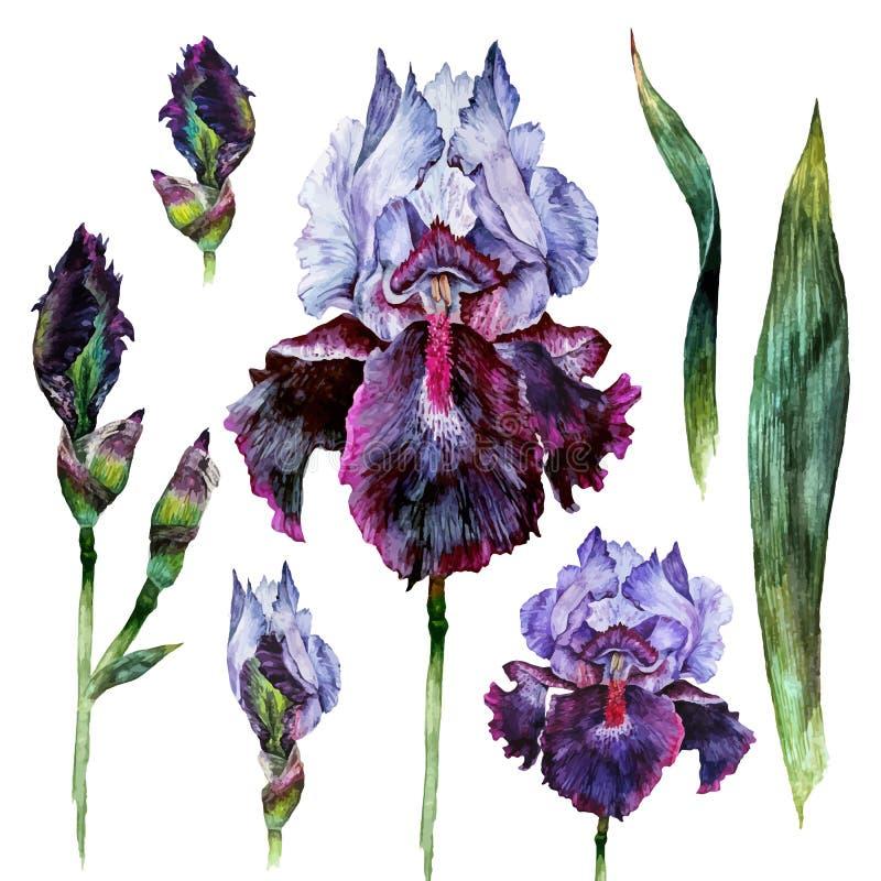 Watercolor Iris isolated vector illustration
