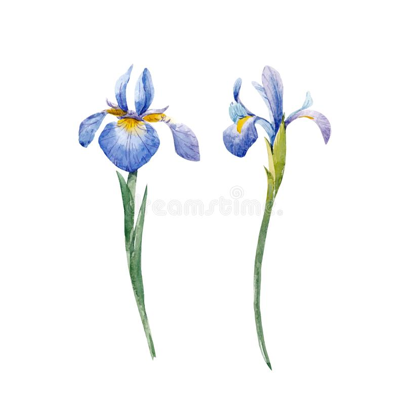 Watercolor iris vector set royalty free illustration