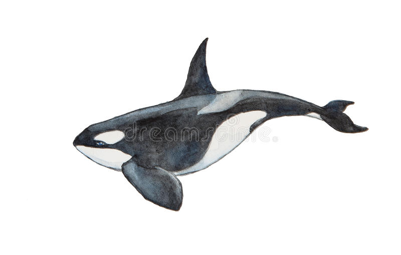 Watercolor killer whale stock illustration