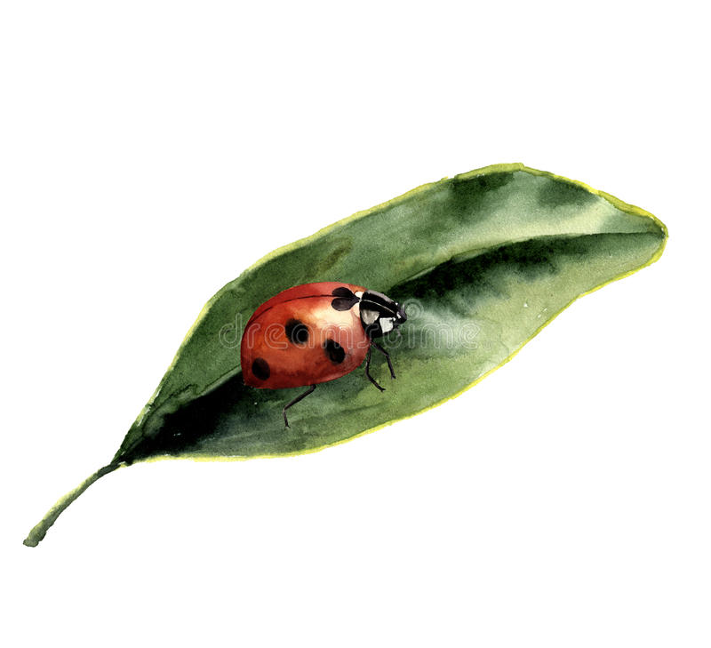 Watercolor ladybug with leaf. Nature card with ladybird. Insect illustration isolated on white background. For design or vector illustration