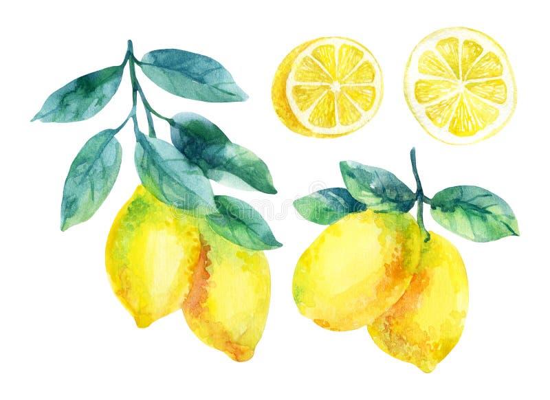 Watercolor lemon fruit branch with leaves isolated on white. Background. Lemon citrus tree. Lemon branch and slices. Lemon branch with leaves. Hand painted stock illustration