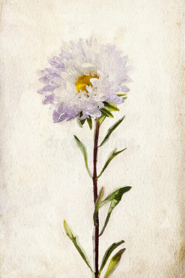 Watercolor lilac aster royalty free illustration