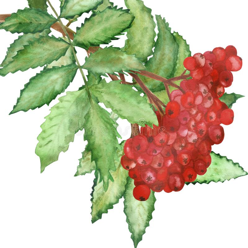 Watercolor lush branch of red Rowan berries with green leaves isolated on white background. vector illustration