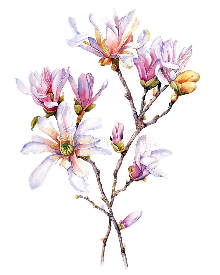 Watercolor with Magnolia royalty free stock photo