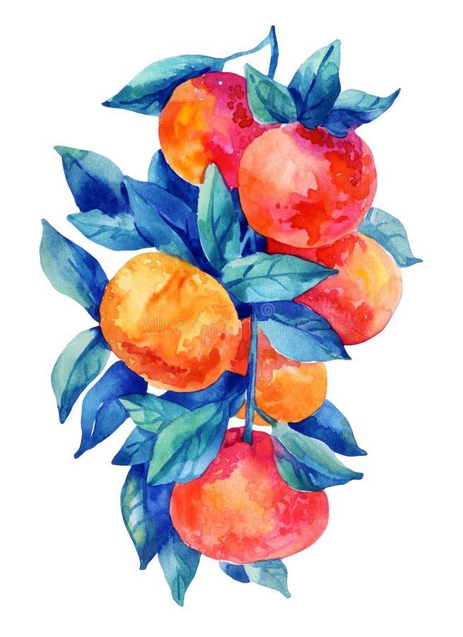 Watercolor mandarine orange fruit branch with leaves isolated on white background. Orange citrus tree. Mandarin branch. Tangerine branch with leaves. Hand royalty free illustration