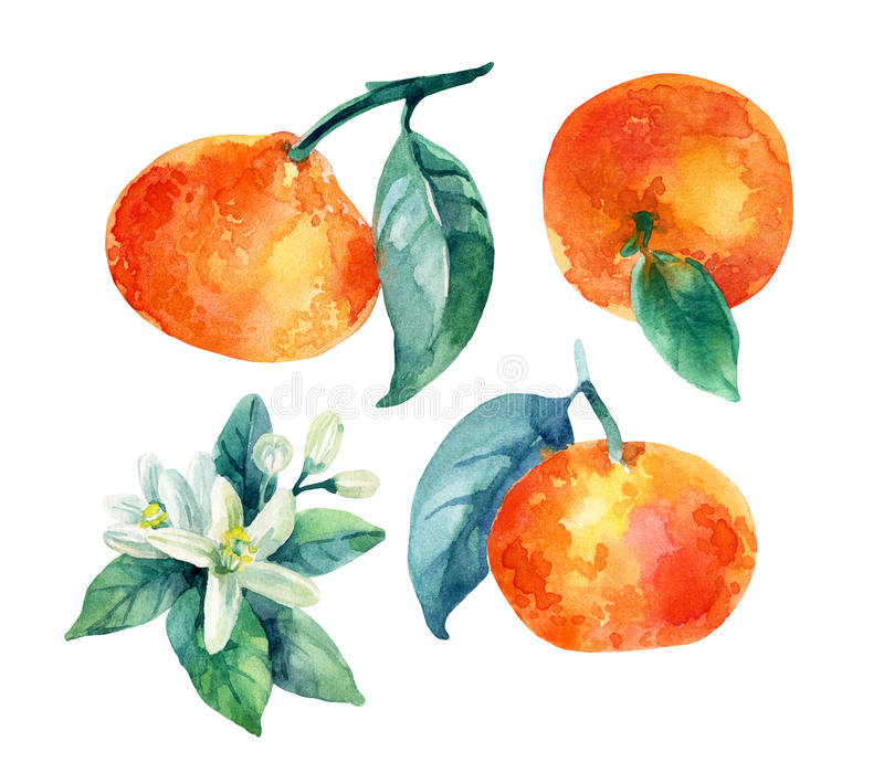 Watercolor mandarine orange fruit branch with leaves isolated on white stock illustration