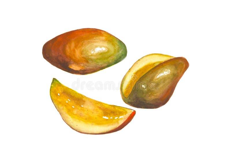 Watercolor mango fruit on white background. Watercolor hand drawn mango fruit isolated on white background royalty free illustration