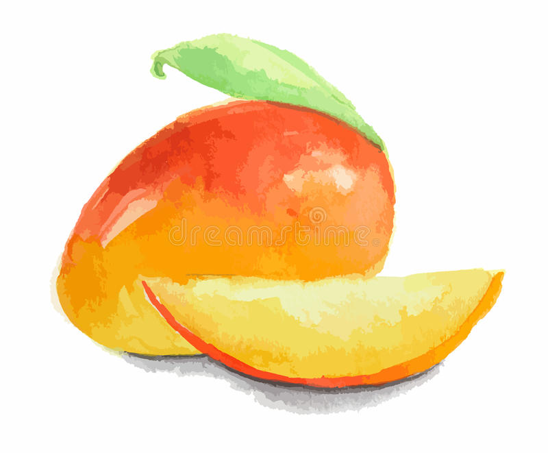 watercolor mango. stock illustration