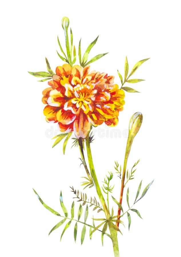 Watercolor marigold isolated on white. Hand-drawn garden flower. Botanical illustration of marigold isolated on white background, watercolor flower royalty free illustration
