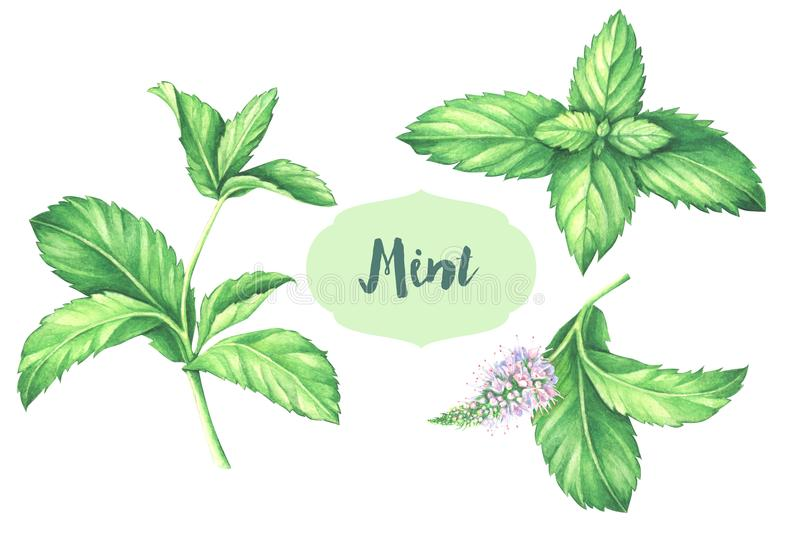 Watercolor mint collection. Mint leaf with mint flower isolated on white background. vector illustration