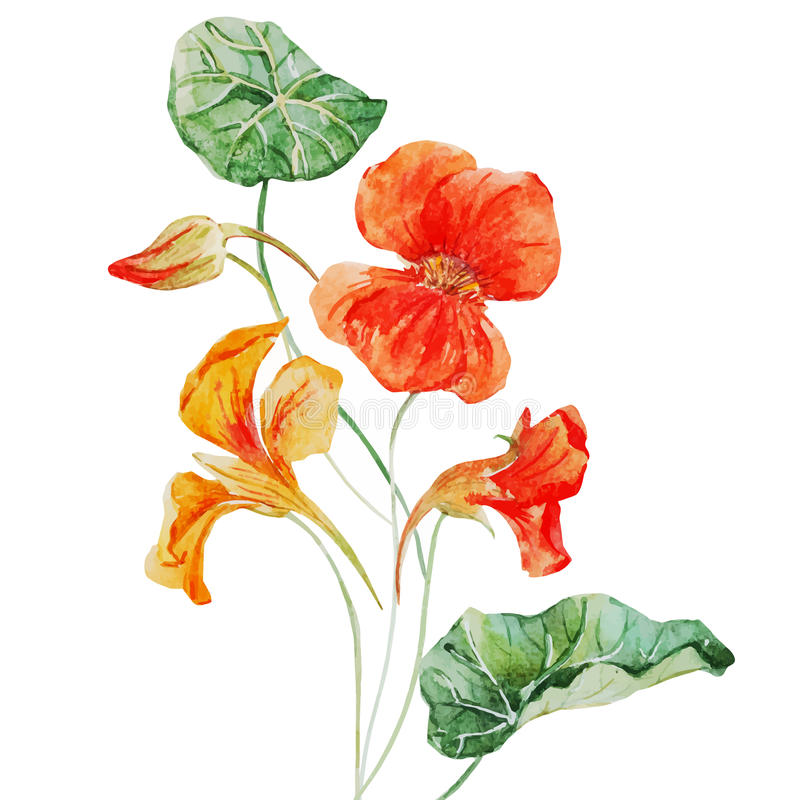 Watercolor nasturtium flower vector illustration