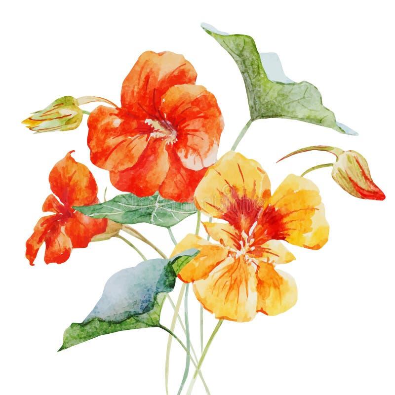Watercolor Nasturtium Flower Stock Illustration - Illustration of graphic, illustration: 58296141