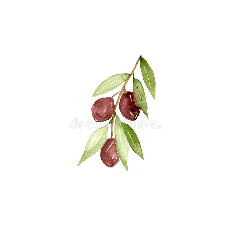 Watercolor olive branch on white background. Hand drawn and isolated natural object royalty free illustration