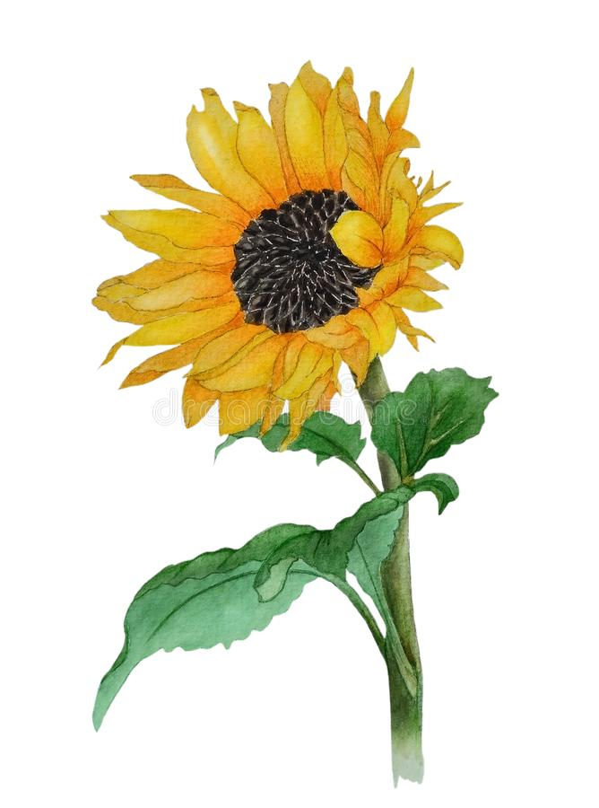 Watercolor with one yellow sunflower royalty free stock photography