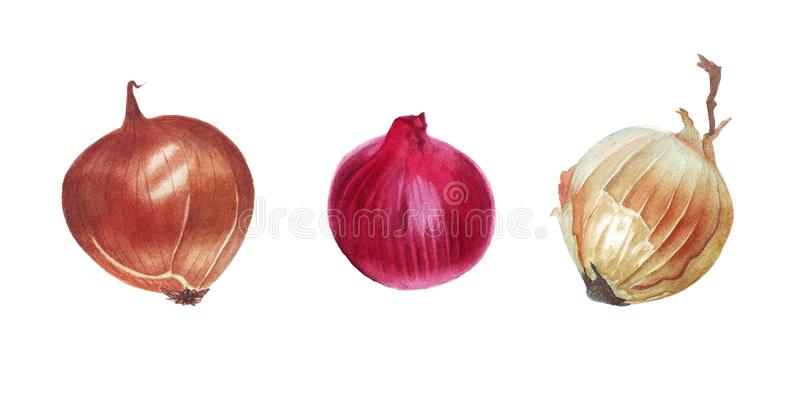 Watercolor onion illustration stock image