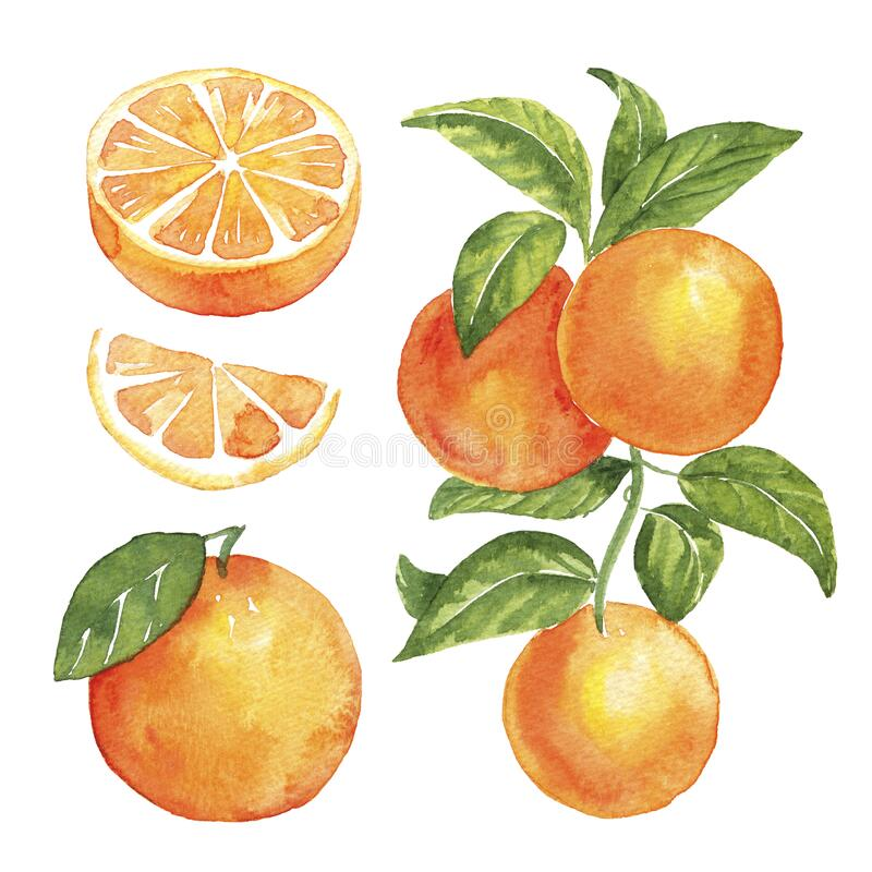 Watercolor Orange. hand drawn isolated illustration on a white background. Orange. Watercolor illustration on a white background royalty free illustration