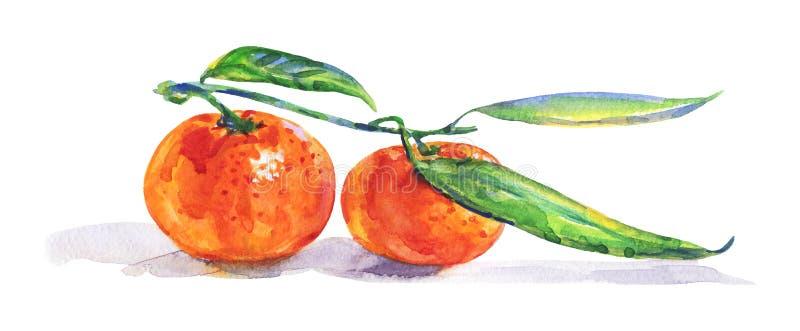 Watercolor orange mandarin. Hand drawn orange mandarin, tangerine with branch. Watercolor fresh citrus fruit on white background. Painting isolated tropical vector illustration
