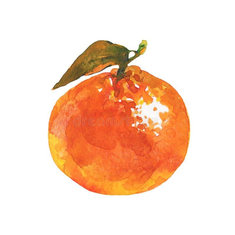 Watercolor orange mandarin. Hand drawn orange mandarin, tangerine. Watercolor fresh citrus fruit on white background. Painting isolated tropical illustration vector illustration